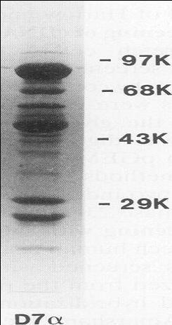 Hsp90 Mouse Monoclonal Antibody (Clone D7 alpha)